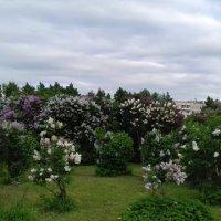 Сиреневый сад. :: Sall Славик/оf