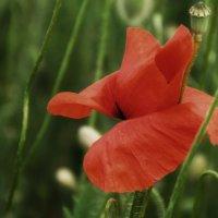 Полевые цветы. :: Любовь