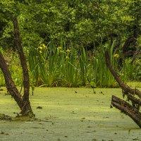 Ирисы на болоте :: Сергей Цветков