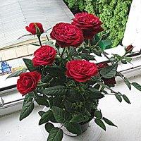 Цветы на подоконнике. :: Владимир Драгунский
