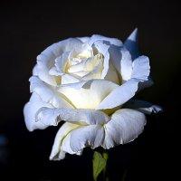 белая роза :: Игорь