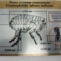 Подкованная блоха :: Антонина Балабанова