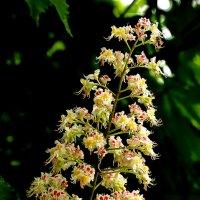 Каштан цветет :: Светлана