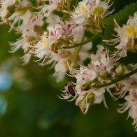 Пчёлка :: Константин Иноземцев