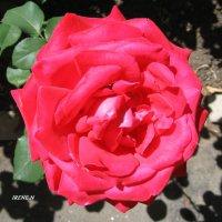 Роза :: IRENE N (miss.nickolaeva)