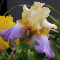 Время цветения ирисов. :: Nata