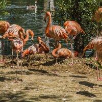 фламинго, зоопарк :: Петр Беляков