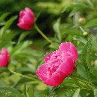 Зацветают пионы в саду... :: Елена Kазак