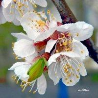Такие чудные мгновения абрикосового цветения! :: Александр Машков (alex2009vm)