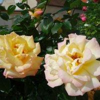 """""""Что шепчут розы по утру, Проснувшись утренней порою?..."""" :: Galina Dzubina"""