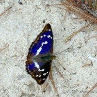 Переливница ивовая  (Apatura iris) :: Liudmila LLF