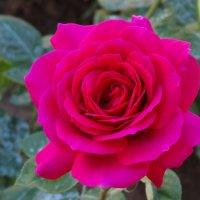 Майская роза... :: Тамара (st.tamara)