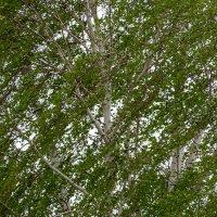 Ветви берёзы на ветру :: Татьяна Золотых