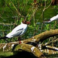 Буроголовая чайка :: vodonos241