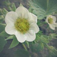 Цветок клубники :: Виктория Власова