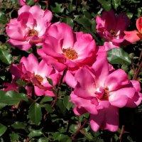 Майские розы Фото №18 :: Владимир Бровко
