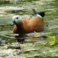 Утка любит воду и мокрую погоду.... :: Galina Leskova