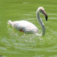 Фламинго :: Нина Бутко