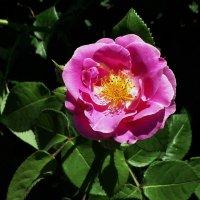 Майская роза Фото №23 :: Владимир Бровко
