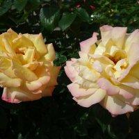 """...Вот роза, всех цветов царица, Блестит румянца красотой...."" :: Galina Dzubina"