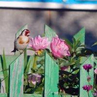 Щегол в цветнике! :: Елена (Elena Fly) Хайдукова