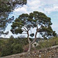Итальянская сосна Пиния в парке Шато :: Nina Karyuk