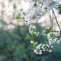 Цветут сады :: Галина