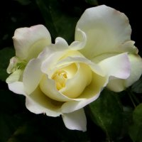 Белая роза. :: Nata