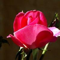 Май,утро,роза... :: Тамара (st.tamara)