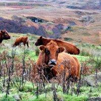 крупный рогатый скот :: Olga