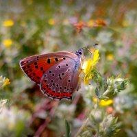 полевая кормёжка червонца :: Александр Прокудин
