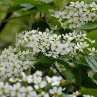 Черемуха цветет... :: Дмитрий Петренко
