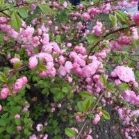 цветение :: Lyudmila