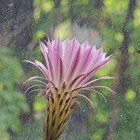 Огромный цветок кактуса :: Ирина Козлова