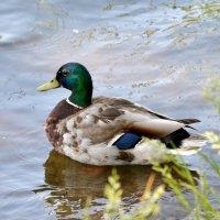 Duck :: Олег Шендерюк