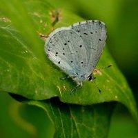 голубянка на зелени :: Александр Прокудин