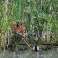 Про лису и камышницу :: Pepsovich
