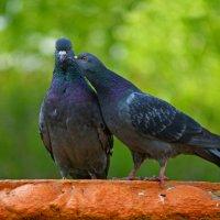 охота на голубей :: Андрей + Ирина Степановы