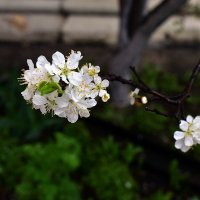 Веточка вишни :: dindin