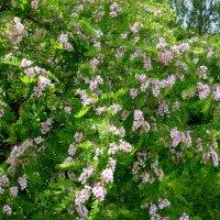Розовая акация в цвету :: Татьяна Лобанова