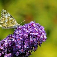 Бабочка на буддлее :: Светлана