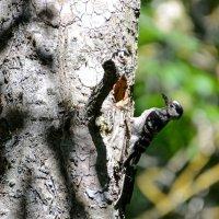 Самка малого пестрого дятла  у гнезда :: Юрий Кузьменок