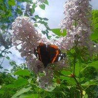 Бабочка :: Сапсан