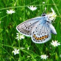 Голубянка Голубянка аргус - Plebeius argus :: vodonos241