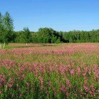 Красное поле :: Сергей Тарабара