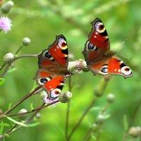 Бабочки :: dindin