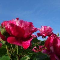 """""""Прекрасны розы днем и ночью... ...Прекрасны в небе голубом..."""" :: Galina Dzubina"""