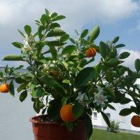 Моё мандариновое деревце... :: Galina Dzubina