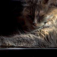 Кошка, лежащая на стеклянной полке, и солнечный луч :: Владимир Шамота
