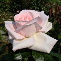 Очарование цветущей розы :: Татьяна Георгиевна